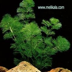 گیاه ابزی کابومبا سبز